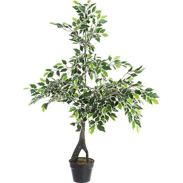 Pflanze Feigenbaum Höhe 120