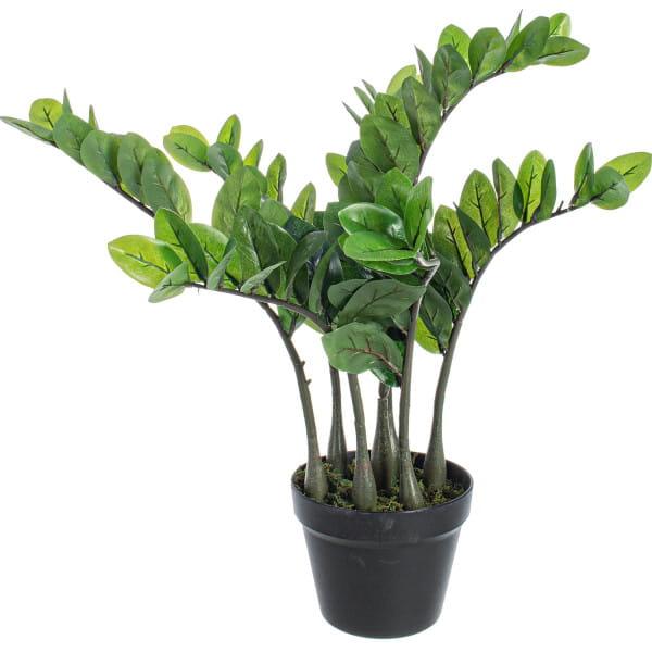 Pflanze Zamiifolia Höhe 6